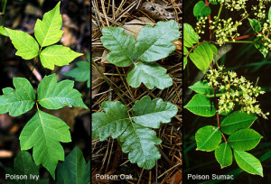 Poison Ivy_Oak_Sumac