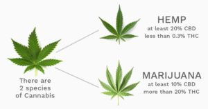 hemp-vs-marijuana
