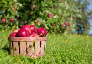 fall-apple-harvest-picture-id154416226