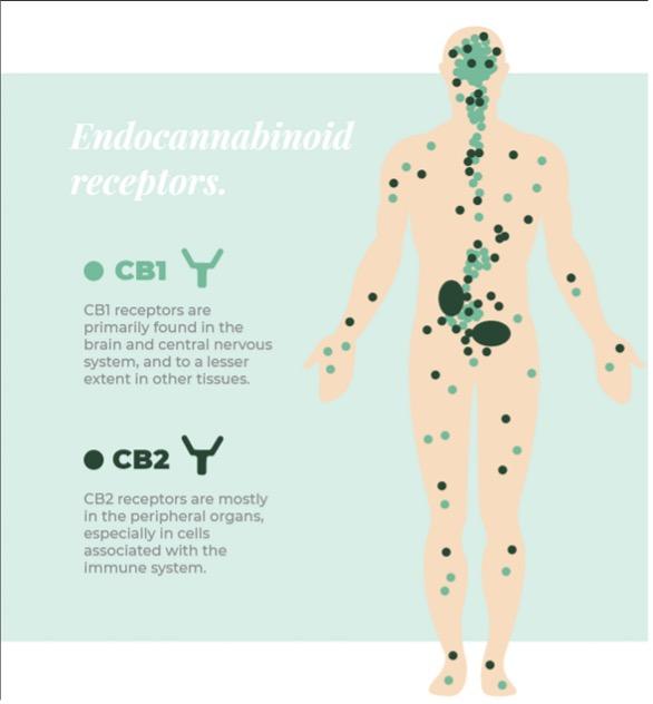 Endocannabinoid Receptors